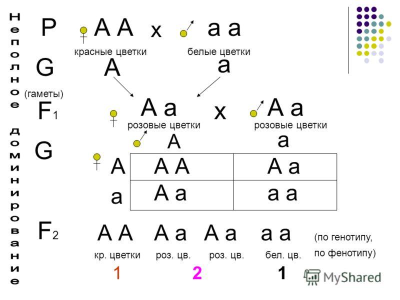 РА а х красные цветкибелые цветки G (гаметы) А а F1F1 А а розовые цветки А а розовые цветки х G А А а а А а А А а а F2F2 А А а а кр. цветкироз. цв. бел. цв. 1 2 1 (по генотипу, по фенотипу)