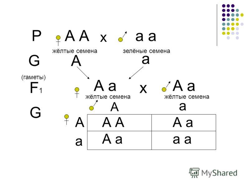 РА а х жёлтые семеназелёные семена G (гаметы) А а F1F1 А а жёлтые семена А а жёлтые семена х G А А а а А а А А а а