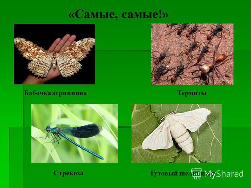 Термиты «Самые, самые!» Бабочка агриппина СтрекозаТутовый шелкопряд