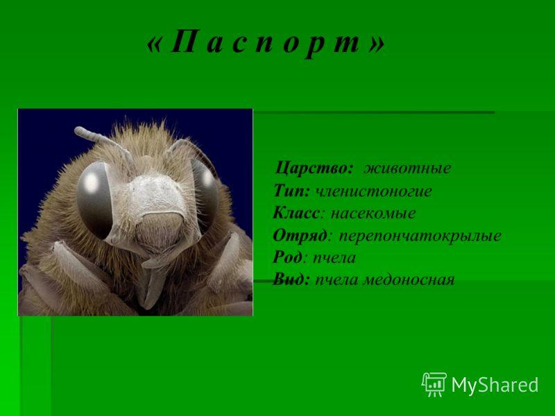 « П а с п о р т » Царство: животные Тип: членистоногие Класс: насекомые Отряд: перепончатокрылые Род: пчела Вид: пчела медоносная