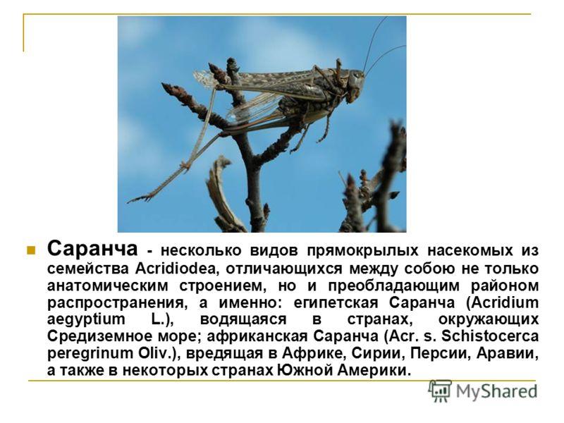 Саранча - несколько видов прямокрылых насекомых из семейства Acridiodea, отличающихся между собою не только анатомическим строением, но и преобладающим районом распространения, а именно: египетская Саранча (Acridium аеgyptium L.), водящаяся в странах