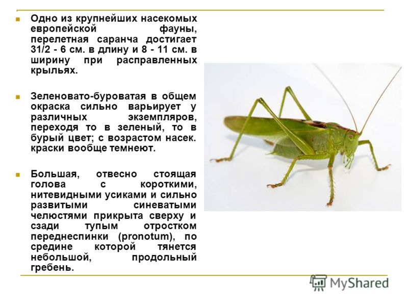 Одно из крупнейших насекомых европейской фауны, перелетная саранча достигает 31/2 - 6 см. в длину и 8 - 11 см. в ширину при расправленных крыльях. Зеленовато-буроватая в общем окраска сильно варьирует у различных экземпляров, переходя то в зеленый, т