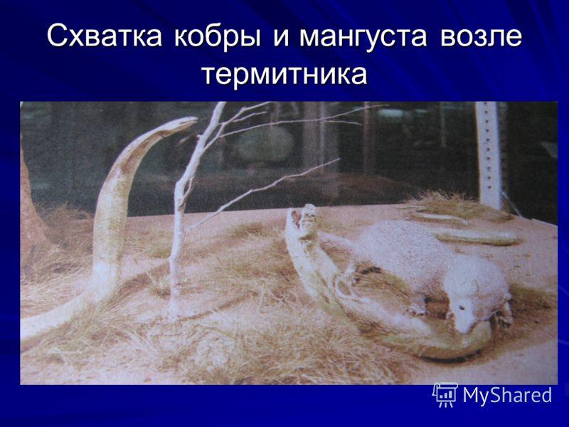 Схватка кобры и мангуста возле термитника