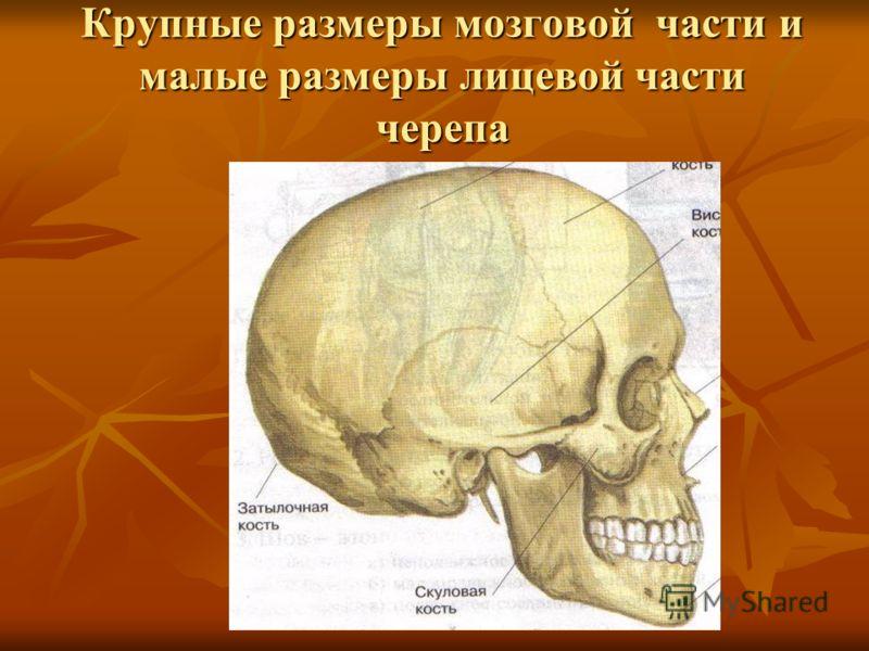 Крупные размеры мозговой части и малые размеры лицевой части черепа