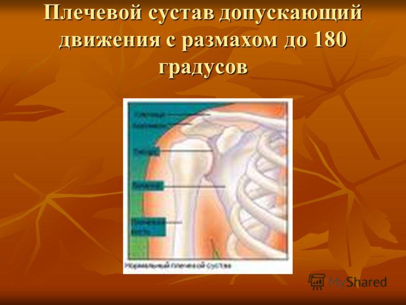 Плечевой сустав допускающий движения с размахом до 180 градусов