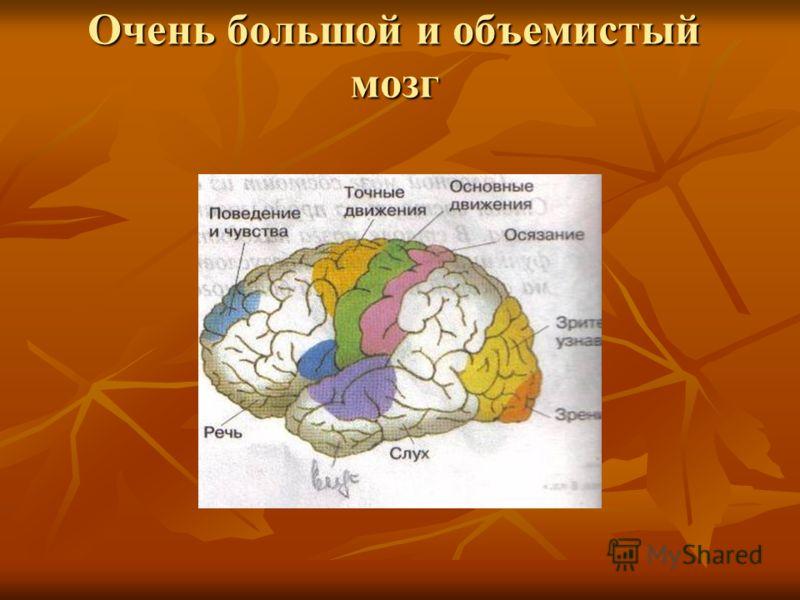 Очень большой и объемистый мозг