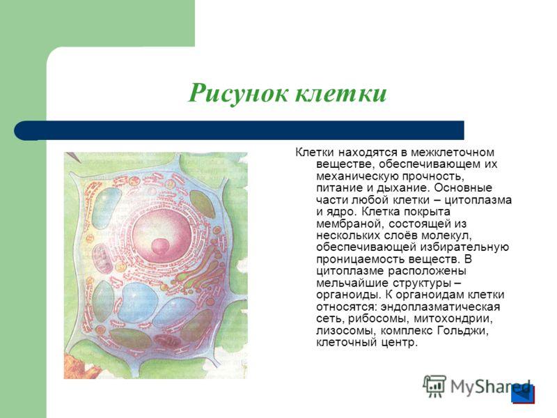 Рисунок клетки Клетки находятся в межклеточном веществе, обеспечивающем их механическую прочность, питание и дыхание. Основные части любой клетки – цитоплазма и ядро. Клетка покрыта мембраной, состоящей из нескольких слоёв молекул, обеспечивающей изб