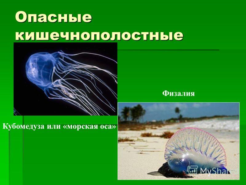 Опасные кишечнополостные Кубомедуза или «морская оса» Физалия