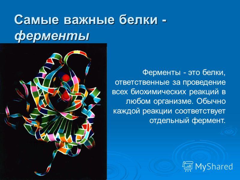 Самые важные белки - ферменты Ферменты - это белки, ответственные за проведение всех биохимических реакций в любом организме. Обычно каждой реакции соответствует отдельный фермент.