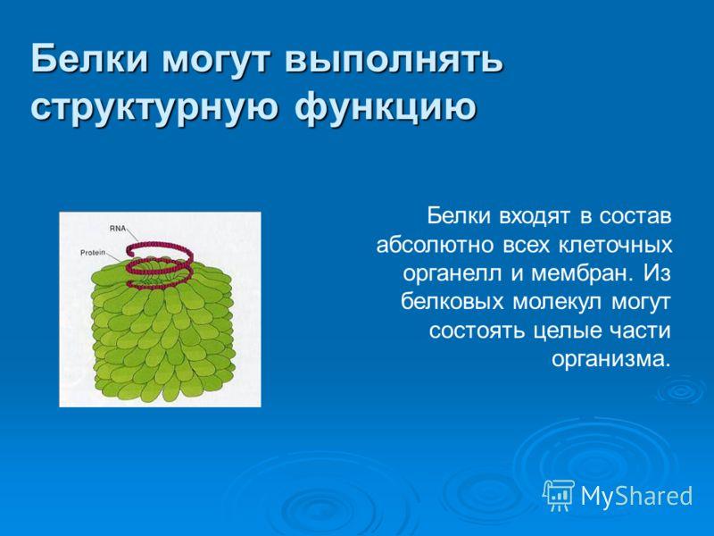 Белки могут выполнять структурную функцию Белки входят в состав абсолютно всех клеточных органелл и мембран. Из белковых молекул могут состоять целые части организма.