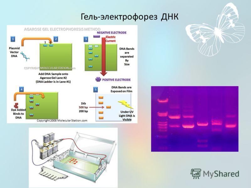 Гель-электрофорез ДНК