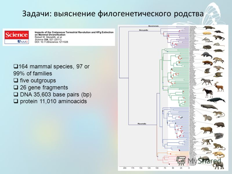 Задачи: выяснение филогенетического родства 164 mammal species, 97 or 99% of families five outgroups 26 gene fragments DNA 35,603 base pairs (bp) protein 11,010 aminoacids