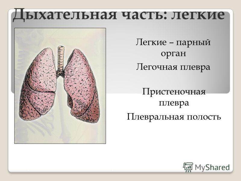 Дыхательная часть: легкие Легочная плевра Легкие – парный орган Пристеночная плевра Плевральная полость Через легкие за 1 мин проходит около 100 л воздуха