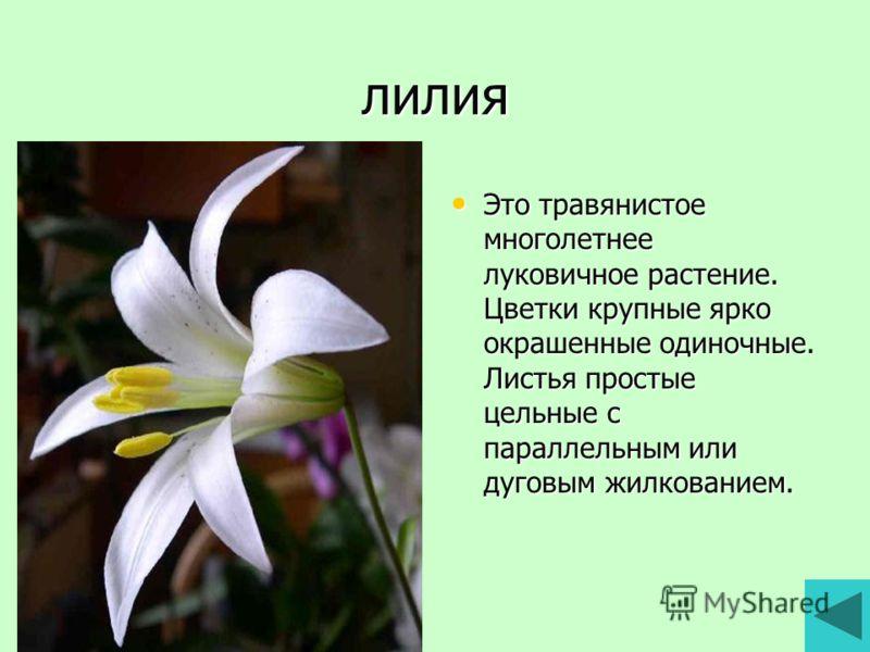 лилия Это травянистое многолетнее луковичное растение. Цветки крупные ярко окрашенные одиночные. Листья простые цельные с параллельным или дуговым жилкованием. Это травянистое многолетнее луковичное растение. Цветки крупные ярко окрашенные одиночные.