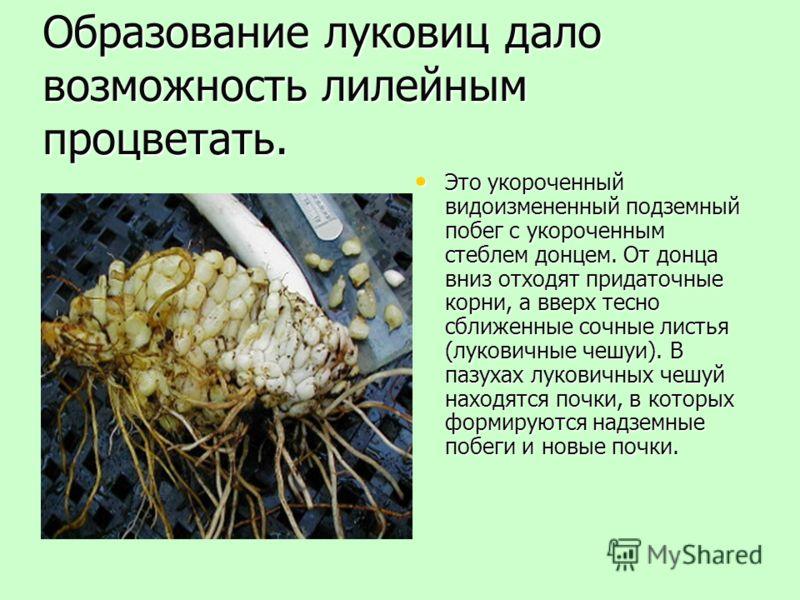 Образование луковиц дало возможность лилейным процветать. Это укороченный видоизмененный подземный побег с укороченным стеблем донцем. От донца вниз отходят придаточные корни, а вверх тесно сближенные сочные листья (луковичные чешуи). В пазухах луков