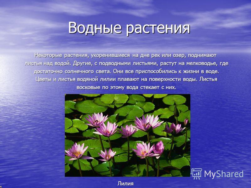 Водные растения Водные растения Некоторые растения, укоренившиеся на дне рек или озер, поднимают листья над водой. Другие, с подводными листьями, растут на мелководье, где листья над водой. Другие, с подводными листьями, растут на мелководье, где дос