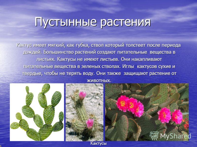 Пустынные растения Пустынные растения Кактус имеет мягкий, как губка, ствол который толстеет после периода дождей. Большинство растений создают питательные вещества в дождей. Большинство растений создают питательные вещества в листьях. Кактусы не име