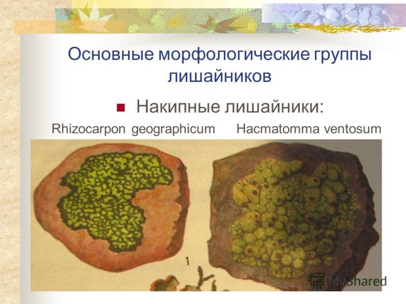 Основные морфологические группы лишайников Накипные лишайники: Rhizocarpon geographicum Hacmatomma ventosum