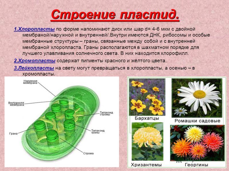 Строение пластид. 1.Хлоропласты по форме напоминают диск или шар d= 4-6 мкм с двойной мембраной/наружной и внутренней/.Внутри имеются ДНК, рибосомы и особые мембранные структуры – граны, связанные между собой и с внутренней мембраной хлоропласта. Гра