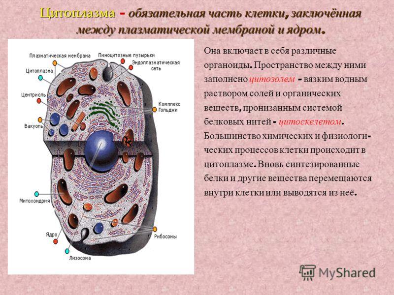 Цитоплазма обязательная часть клетки, заключённая между плазматической мембраной и ядром. Цитоплазма – обязательная часть клетки, заключённая между плазматической мембраной и ядром. Она включает в себя различные органоиды. Пространство между ними зап