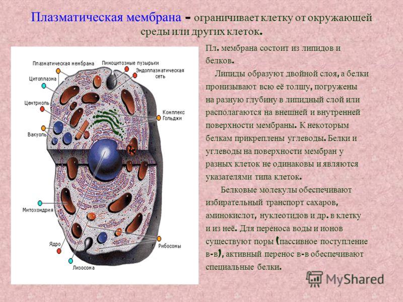 Плазматическая мембрана – ограничивает клетку от окружающей среды или других клеток. Пл. мембрана состоит из липидов и белков. Липиды образуют двойной слоя, а белки пронизывают всю её толщу, погружены на разную глубину в липидный слой или располагают
