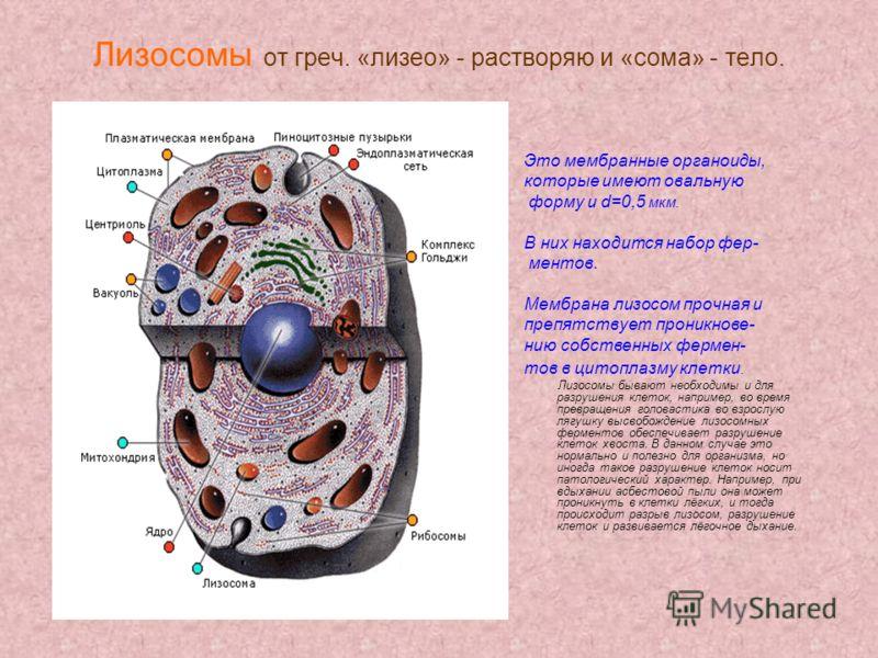 Лизосомы от греч. «лизео» - растворяю и «сома» - тело. Это мембранные органоиды, которые имеют овальную форму и d=0,5 мкм. В них находится набор фер- ментов. Мембрана лизосом прочная и препятствует проникнове- нию собственных фермен- тов в цитоплазму