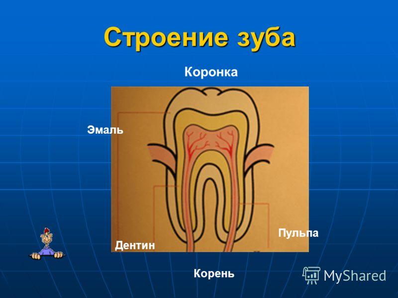Строение зуба Коронка Эмаль Пульпа Дентин Корень