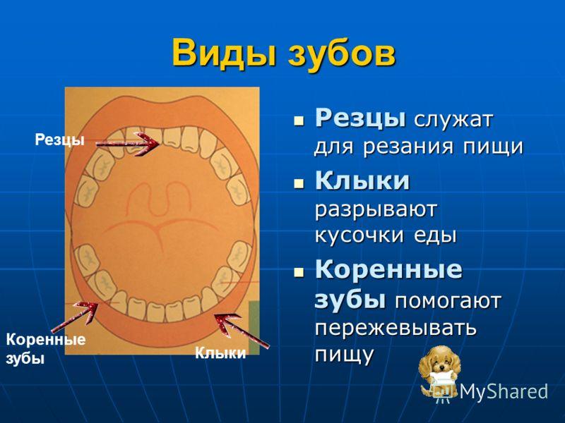 Виды зубов Резцы служат для резания пищи Резцы служат для резания пищи Клыки разрывают кусочки еды Клыки разрывают кусочки еды Коренные зубы помогают пережевывать пищу Коренные зубы помогают пережевывать пищу Резцы Клыки Коренные зубы