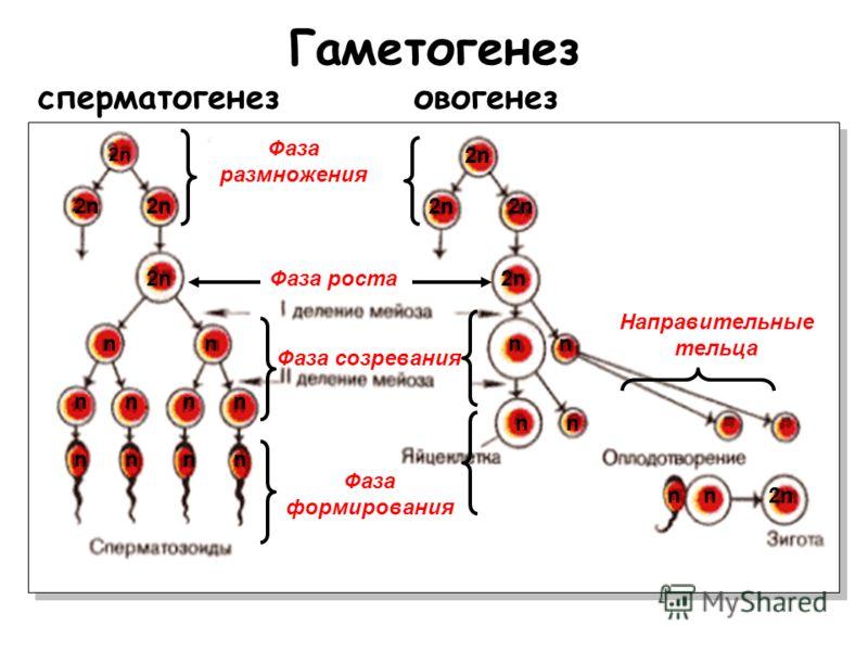 Гаметогенез сперматогенезовогенез Фаза размножения Фаза роста Фаза созревания Направительные тельца 2n 2n Фаза формирования 2n2n 2n2n 2n2n 2n2n 2n2n2n2n 2n2n n nn n nn nn nn n2n2nn nnnn