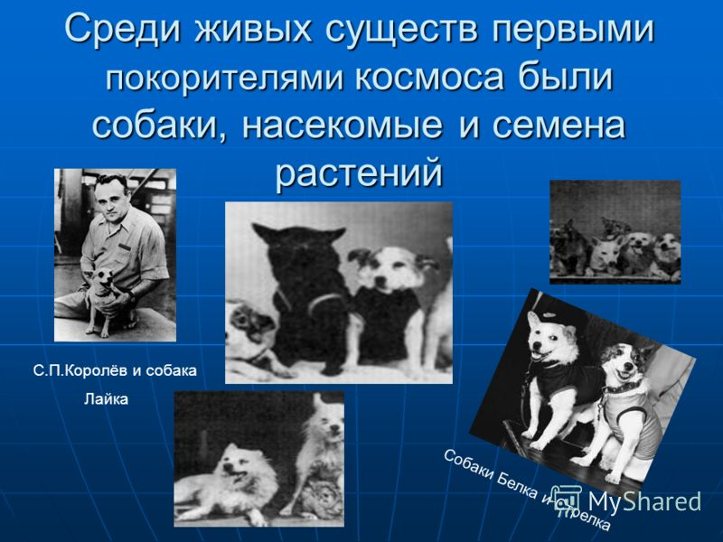 Среди живых существ первыми покорителями космоса были собаки, насекомые и семена растений Лайка Собаки Белка и Стрелка С.П.Королёв и собака