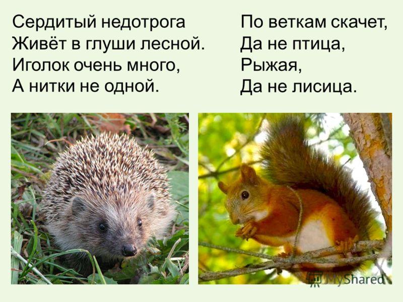 Сердитый недотрога Живёт в глуши лесной. Иголок очень много, А нитки не одной. По веткам скачет, Да не птица, Рыжая, Да не лисица.