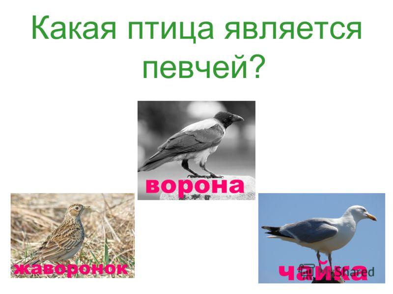 Какая птица является певчей?