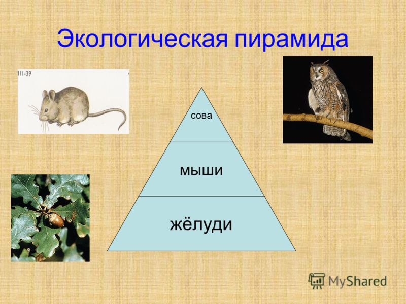 Экологическая пирамида сова мыши жёлуди