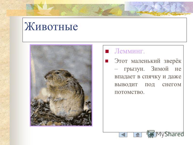 Животные Лемминг. Этот маленький зверёк – грызун. Зимой не впадает в спячку и даже выводит под снегом потомство.
