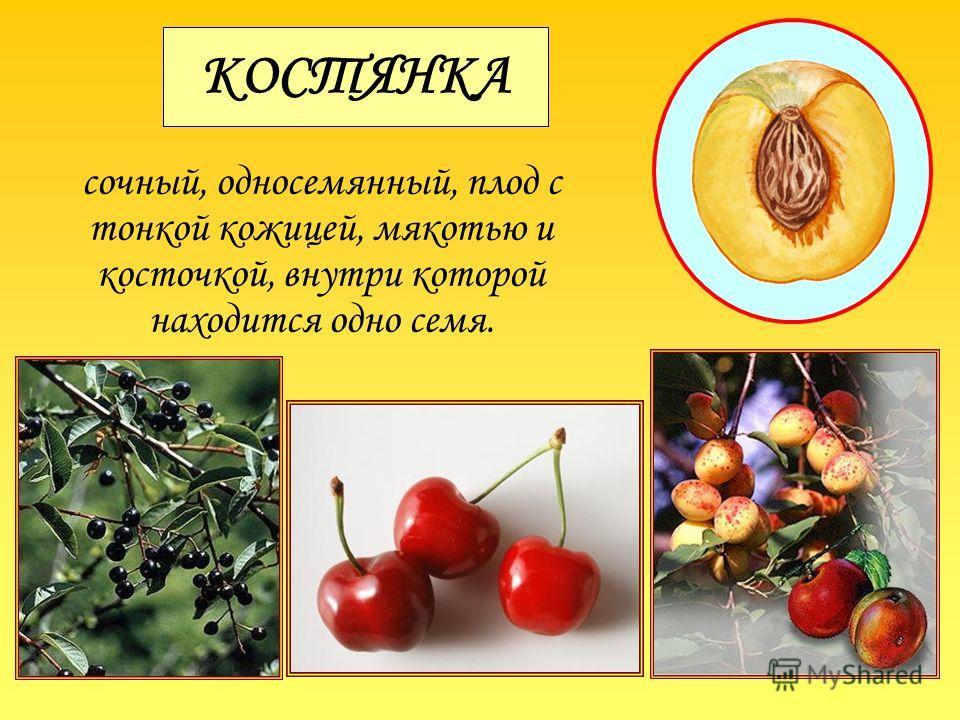 КОСТЯНКА сочный, односемянный, плод с тонкой кожицей, мякотью и косточкой, внутри которой находится одно семя.