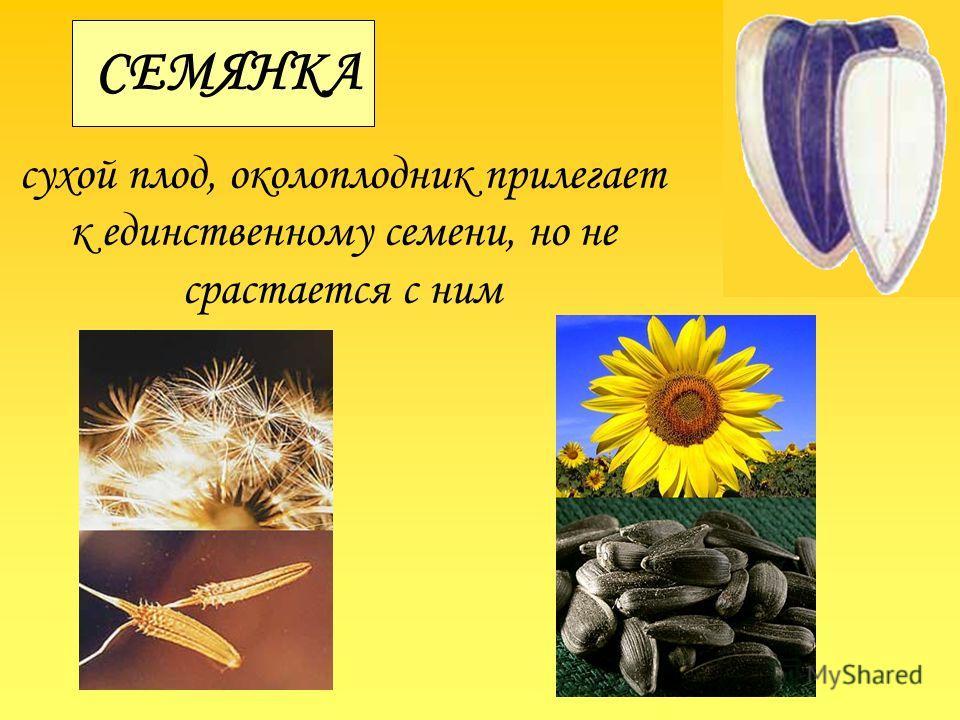 СЕМЯНКА сухой плод, околоплодник прилегает к единственному семени, но не срастается с ним
