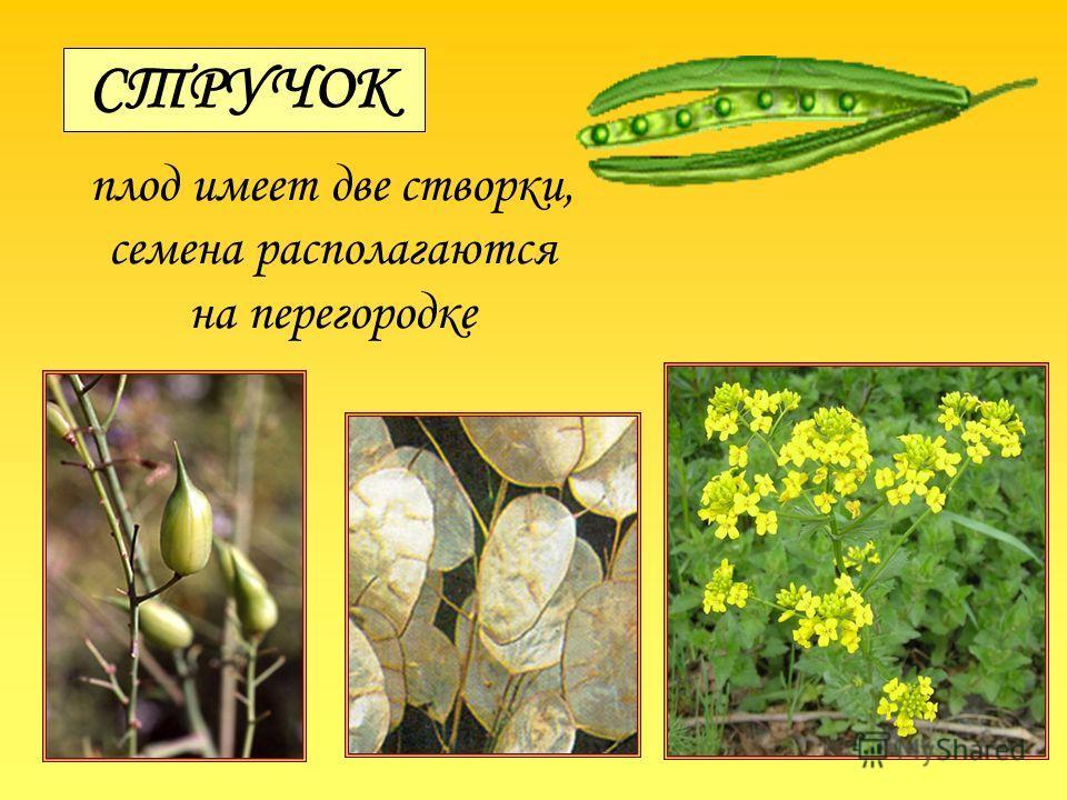 СТРУЧОК плод имеет две створки, семена располагаются на перегородке