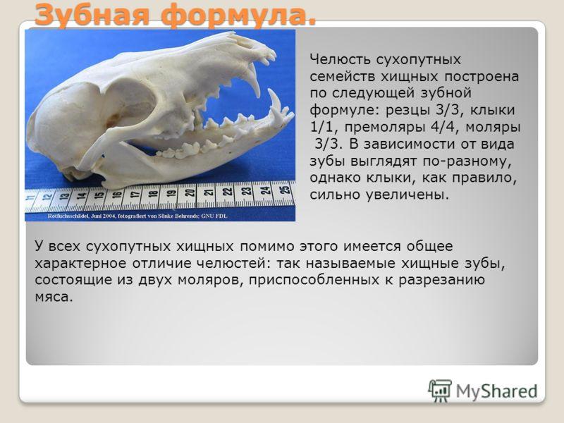 Зубная формула. Челюсть сухопутных семейств хищных построена по следующей зубной формуле: резцы 3/3, клыки 1/1, премоляры 4/4, моляры 3/3. В зависимости от вида зубы выглядят по-разному, однако клыки, как правило, сильно увеличены. У всех сухопутных