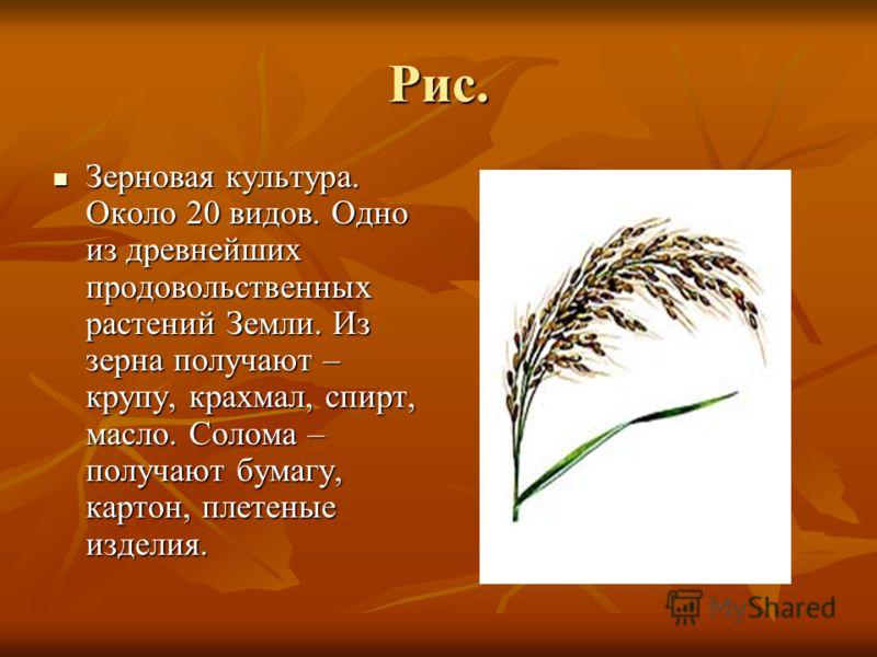 Рис. Зерновая культура. Около 20 видов. Одно из древнейших продовольственных растений Земли. Из зерна получают – крупу, крахмал, спирт, масло. Солома – получают бумагу, картон, плетеные изделия. Зерновая культура. Около 20 видов. Одно из древнейших п