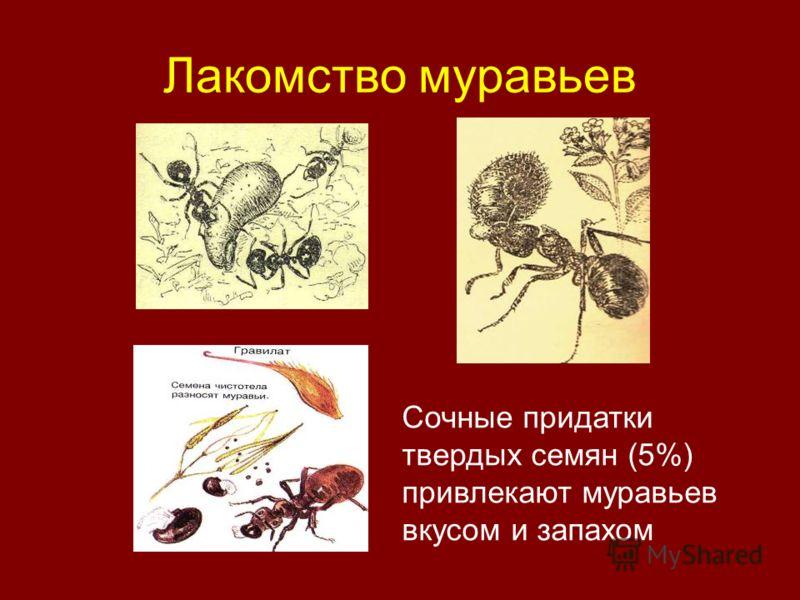 Лакомство муравьев Сочные придатки твердых семян (5%) привлекают муравьев вкусом и запахом