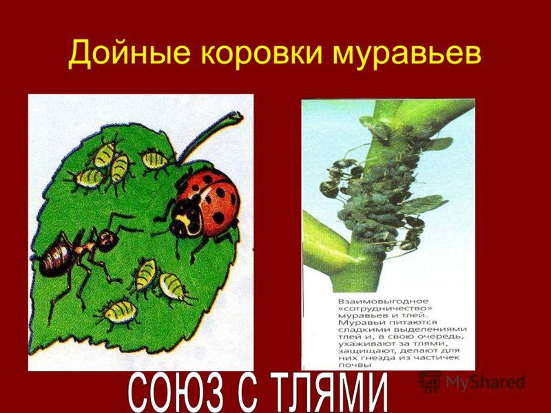 Дойные коровки муравьев