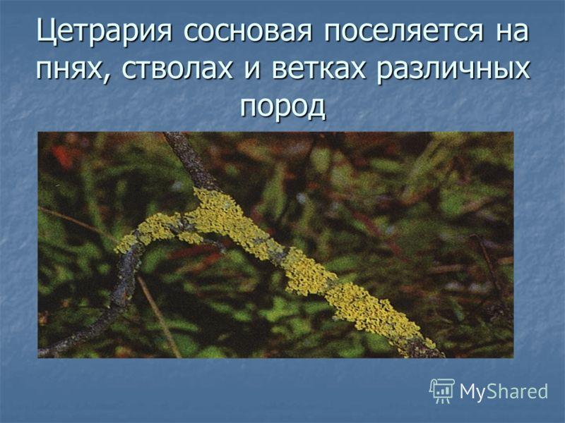 Цетрария сосновая поселяется на пнях, стволах и ветках различных пород
