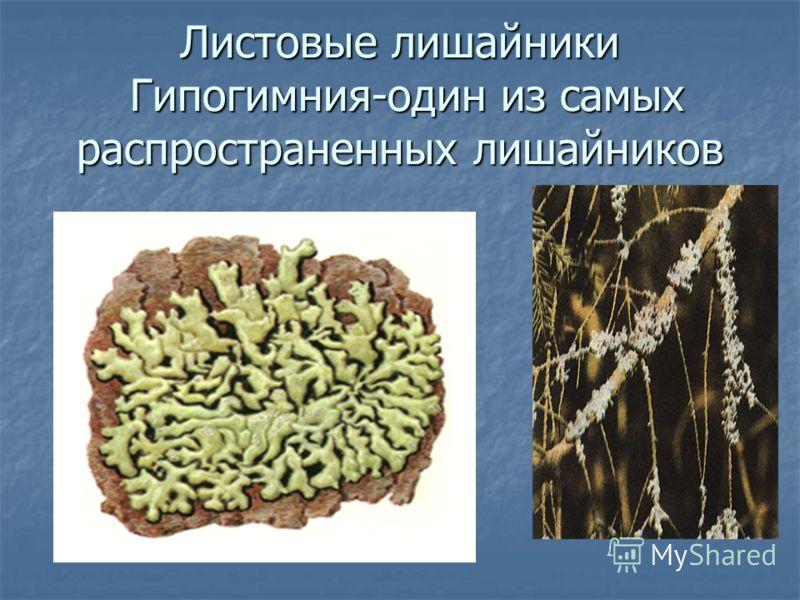 Листовые лишайники Гипогимния-один из самых распространенных лишайников