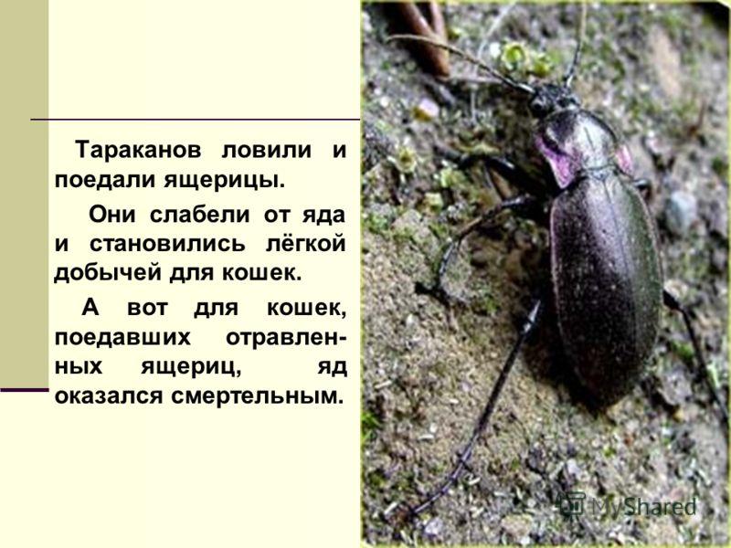 Так почему же появилось так много крыс? А оказалось, вот почему. насекомые растения ЯДОХИМИКАТЫ Яд копился в их тельцах Тараканы жили в природе и питались