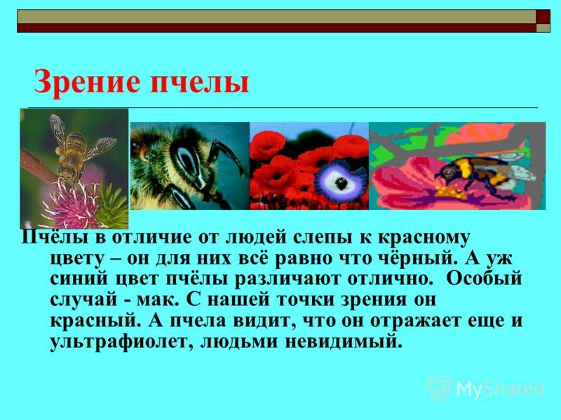 Зрение пчелы Пчёлы в отличие от людей слепы к красному цвету – он для них всё равно что чёрный. А уж синий цвет пчёлы различают отлично. Особый случай - мак. С нашей точки зрения он красный. А пчела видит, что он отражает еще и ультрафиолет, людьми н