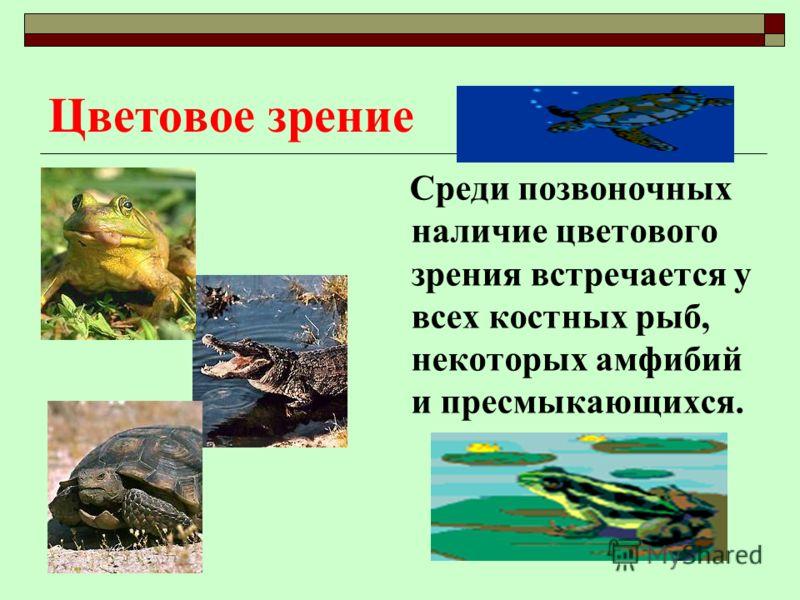 Среди позвоночных наличие цветового зрения встречается у всех костных рыб, некоторых амфибий и пресмыкающихся.