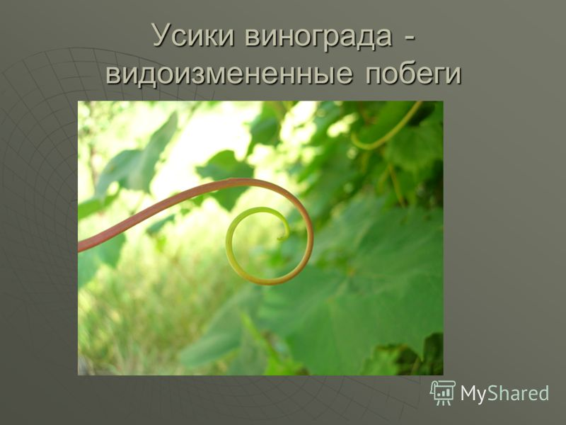 Усики винограда - видоизмененные побеги
