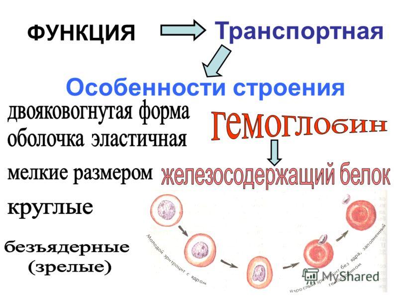 ФУНКЦИЯ Транспортная Особенности строения