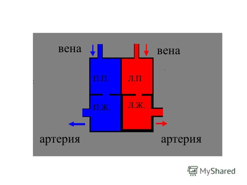 П.П. П.Ж. Л.П Л.Ж. вена вена артерияартерия