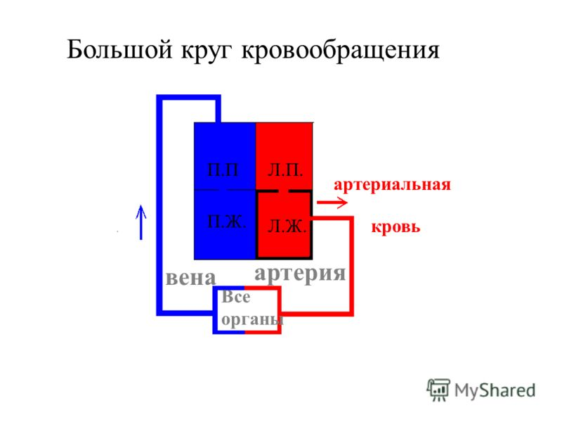 Большой круг кровообращения П.П П.Ж. Л.П. Л.Ж. Все органы артерия вена артериальная кровь венозная кровь